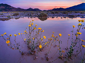 Desert gold (Geraea canescens) flowers growing in the over-flow of the rain swollen Armargosa River, Dumont Hills,California, USA.  -  Jack Dykinga