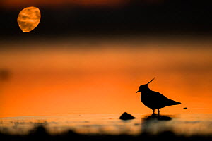 Northern lapwing (Vanellus vanellus) silhouetted at water edge, France, December  -  Eric  Medard
