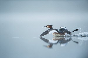 Great crested grebe (Podiceps cristatus) taking off from water, Mayenne,France, March.  -  Eric  Medard