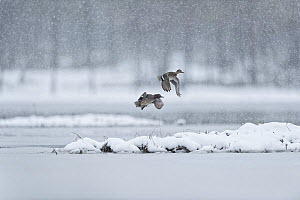 Eurasian teal (Anas crecca) two in flight in snowfall Sweden  -  Eric  Medard