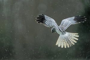Hen harrier (Circus cyaneus) flying / hovering in the rain, Mayenne, France. April.  -  Eric  Medard