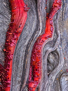 Detail of the trunk of a Manzanita (Arctostaphylos viscida) with its unique red bark against the dead wood grained patterns. Rincon Mountains, Coronado National Forrest, Arizona.  -  Jack Dykinga