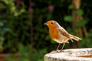 Robin (Erithacus rubecula) perched on bird bath in garden, Bristol, UK, May.  -  John Waters