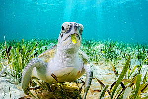 Green turtle (Chelonia mydas) feeding on on Turtlegrass (Thalassia testudinum) seagrass bed. The Bahamas.  -  Shane Gross