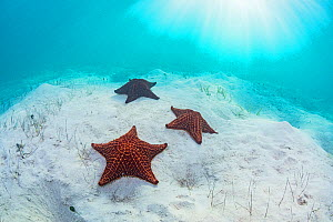 Red cushion sea star (Oreaster reticulatus), three on sand in Seagrass bed. The Bahamas.  -  Shane Gross