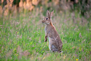 European rabbit (Oryctolagus cunniculus) on alert, on back legs, Wiltshire, UK, June.  -  TJ Rich