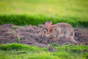 European rabbit (Oryctolagus cunniculus) chin rubbing/scent marking near burrow, Wiltshire, UK, June.  -  TJ Rich