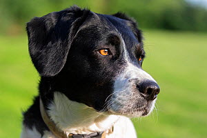 Collie Cross dog, head portrait, Wiltshire, UK, June.  -  TJ Rich