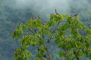 Amur falcon (Falco amurensis) perched in roost tree e during migration , Nagaland, India.  -  Sandesh  Kadur