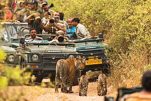 Large group of tourists and photographers taking pictures of Bengal tiger (Panthera tigris tigris) female with two cubs on dirt track, Ranthambore National Park, Rajasthan, India.  -  Sandesh  Kadur