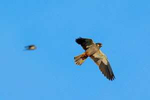 Amur falcon (Falco amurensis) male flying at roost site during migration , Nagaland, India.  -  Sandesh  Kadur