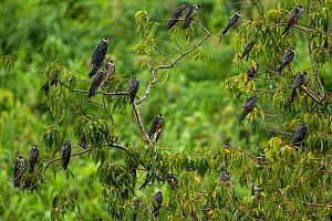 Amur falcon (Falco amurensis) flocked perched in trees, at roost site during migration , Nagaland, India.  -  Sandesh  Kadur