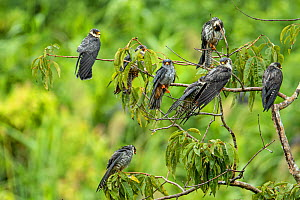 Amur falcon (Falco amurensis) flock perched in tree, at roost site during migration , Nagaland, India.  -  Sandesh  Kadur