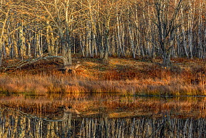 White-tailed Deer (Odocoileus virginianus). Mature Buck at the edge of a still beaver pond at sunrise, during mating season. Acadia National Park, Maine, USA.  -  George Sanker