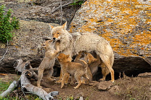 Coyote (Canis latrans) with newborn pups. Yellowstone National Park, Wyoming, USA.  -  George Sanker