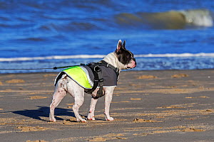 French Bulldog wearing adjustable walking harness and dog coat / jacket against the cold on the beach in winter  -  Philippe Clement