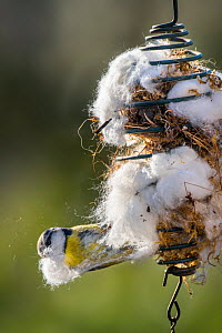 Blue tit (Parus caeruleus) collecting dry moss and cotton wool as nest building material in spring, Belgium. April.  -  Philippe Clement