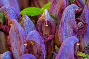 Purple toothwort / clandestine (Lathraea clandestina) in flower in spring, Belgium. April  -  Philippe Clement