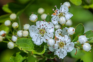 Blossoming common hawthorn / oneseed hawthorn / single-seeded hawthorn / mayblossom (Crataegus monogyna) showing white flowers in spring, Belgium. April  -  Philippe Clement