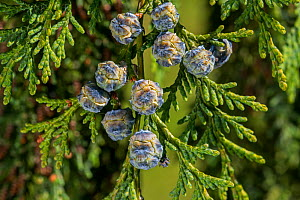 Port Orford cedar / Lawson cypress (Chamaecyparis lawsoniana) cultivar Dik's Weeping showing female cones in spring, Belgium. May  -  Philippe Clement