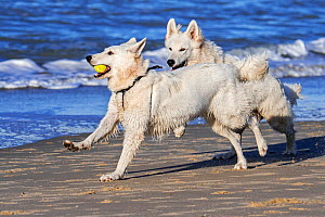 Two Berger Blanc Suisse dogs / White Swiss Shepherds, white form of German Shepherd dog playing fetch with tennis ball on the beach  -  Philippe Clement