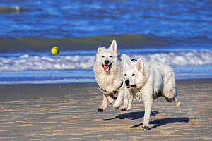 Two Berger Blanc Suisse dogs / White Swiss Shepherds, white form of German Shepherd dog, running after tennis ball on beach  -  Philippe Clement