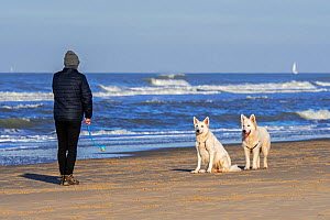 Dog owner with tennis ball launcher playing fetch on the beach with two Berger Blanc Suisse dogs / White Swiss Shepherds  -  Philippe Clement
