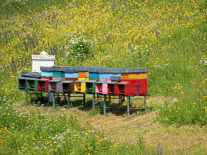 Beehives in alpine meadow. Fassa Valley, Dolomites, Trentino, Italy. June 2019.  -  Paul  Harcourt Davies