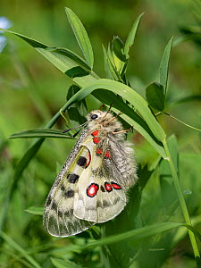 Apollo butterfly (Parnassius apollo) resting on Grass. Dolomites, Italy. June.  -  Paul  Harcourt Davies