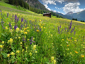 Species rich alpine meadow with Meadow clary (Salvia pratensis) and Yellow rattle (Rhinanthus sp), mountain hut and mountains in background. Fassa Valley, Dolomites, Trentino, Italy. June 2019.  -  Paul  Harcourt Davies