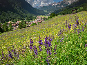 View across species rich alpine meadow to Campitello di Fassa, flowers include Meadow clary (Salvia pratensis) and Yellow rattle (Rhinanthus sp). Dolomites, Trentino, Italy. June 2019.  -  Paul  Harcourt Davies