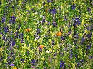 Species rich alpine meadow, flowers including Meadow clary (Salvia pratensis), Yellow rattle (Rhinathus sp) and Orange lily (Lilium bulbiferum). Fassa Valley, Dolomites, Italy. June 2019.  -  Paul  Harcourt Davies