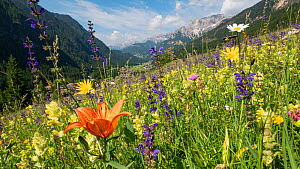 Species rich alpine meadow with Orange lily (Lilium bulbiferum), Meadow clary (Salvia pratensis), Yellow rattle (Rhinathus sp) and Oxeye daisy (Leucanthemum vulgare). View towards Campitello di Fassa...  -  Paul  Harcourt Davies
