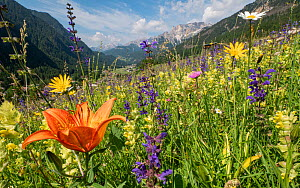 Species rich alpine meadow with Orange lily (Lilium bulbiferum), Meadow clary (Salvia pratensis) and Yellow rattle (Rhinathus sp). View towards Campitello di Fassa and mountains, Fassa Valley, Dolomit...  -  Paul  Harcourt Davies