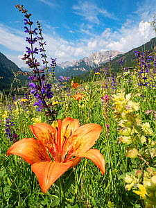 Orange lily (Lilium bulbiferum) in species rich alpine meadow alongside Meadow clary (Salvia pratensis) and Yellow rattle (Rhinathus sp), mountains in background. Fassa Valley, Dolomites, Italy. June...  -  Paul  Harcourt Davies