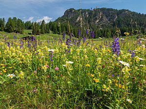 Species rich alpine meadow with flowers including Meadow clary (Salvia pratensis), Yellow rattle (Rhinathus sp), Oxeye daisy (Leucanthemum vulgare), Clover (Trifolium sp) and Bird's-foot trefoil (...  -  Paul  Harcourt Davies
