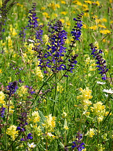 Meadow clary (Salvia pratensis) and Yellow rattle (Rhinathus sp) flowering in alpine meadow. Fassa Valley, Dolomites, Italy. June.  -  Paul  Harcourt Davies