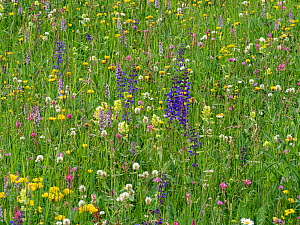 Species rich alpine meadow with flowers including Meadow clary (Salvia pratensis), Yellow rattle (Rhinathus sp), Sainfoin (Onobrychis arenaria), Bird's-foot trefoil (Lotus sp), Clover (Trifolium s...  -  Paul  Harcourt Davies