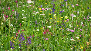 Species rich alpine meadow with Sainfoin (Onobrychis arenaria), Meadow clary (Salvia pratensis), Oxeye daisy (Leucanthemum vulgare) and Hoary plantain (Plantago media). Dolomites, Italy. June.  -  Paul  Harcourt Davies