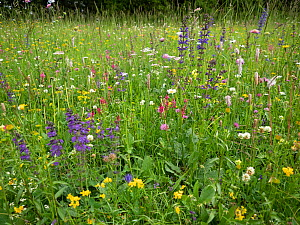 Species rich alpine meadow including Sainfoin (Onobrychis arenaria), Meadow clary (Salvia pratensis), Clovers (Trifolium spp), Hoary plantain (Plantago media), Bird's-foot trefoil (Lotus sp) and Y...  -  Paul  Harcourt Davies