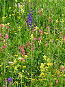 Alpine meadow with Sainfoin (Onobrychis arenaria), Meadow clary (Salvia pratensis), Yellow rattle (Rhinathus sp) and Bird's-foot trefoil (Lotus sp). Dolomites, Italy. June.  -  Paul  Harcourt Davies