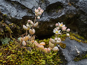 Thick-leaved stonecrop (Sedum dasyphyllum) growing amongst Moss between rocks at 2200m. Falzarego Pass, nr Cortina, Dolomites, Italy. July.  -  Paul  Harcourt Davies
