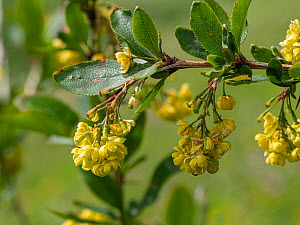 Barberry (Berberis vulgaris). Dolomites, Italy. June.  -  Paul  Harcourt Davies