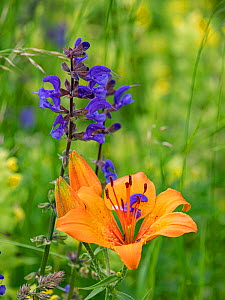 Orange lily (Lilium bulbiferum) and Meadow clary (Salvia pratensis) flowers in alpine meadow. Dolomites, Italy. June.  -  Paul  Harcourt Davies