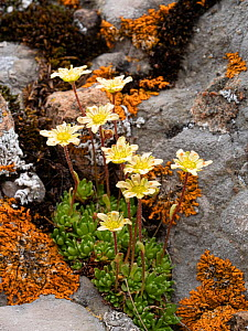 Musky saxifrage (Saxifraga exarata moschata) in rock crevice. Col di Rodella, Fassa Valley, Dolomites, Italy. July.  -  Paul  Harcourt Davies