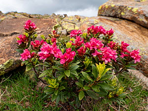 Alpenrose (Rhododendron ferrugineum) on rock in Dolomites. Ciampac, Trentino, Italy. July.  -  Paul  Harcourt Davies