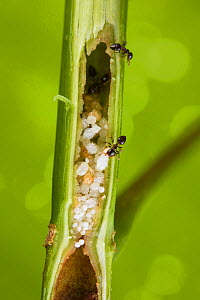 Ants (Crematogaster sp) carrying their larvae and pupae into their host plant (Macaranga sp.), Borneo  -  Emanuele Biggi
