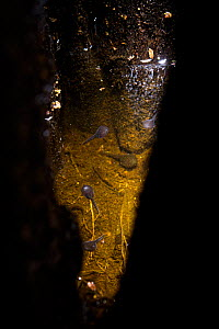 Undetermined tadpoles developing inside a water-filled hole inside a tree (phytotelmata). Kubah National Park, Borneo.  -  Emanuele Biggi