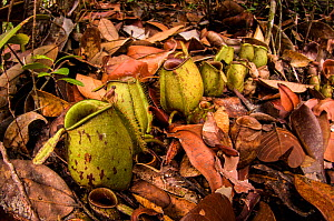 Flask-shaped pitcher plant (Nepenthes ampullaria), this species keeps its pitchers open, as it also feeds on plant matter that fall from above. Bako National Park, Borneo.  -  Emanuele Biggi