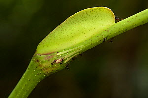 Leea indica, a myrmecophile plant with an ant (Crematogaster sp.) on its pearl bodies, a growth which provides food fo the ants who protect the plant. Bako National Park, Sarawak, Borneo.  -  Emanuele Biggi